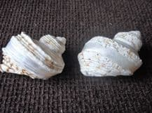 """2 X COLLECTABLE PEARL BANDED TURBO SHELLS GREAT CONDITION AND LOVELY COLOURS 5"""""""